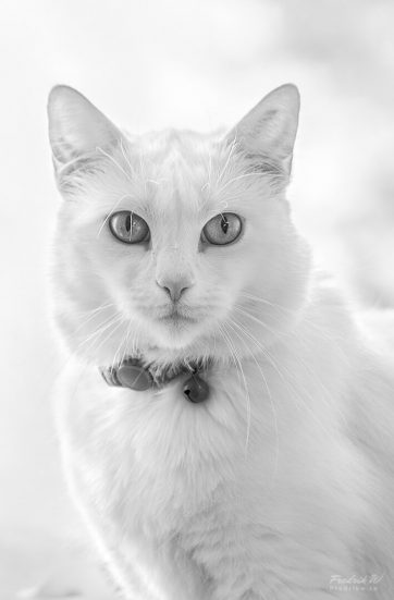 vit katt ghost white cat